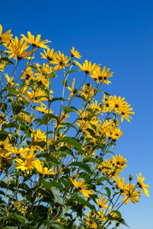 Yellow Rudbeckia flowers outside in the garden photo