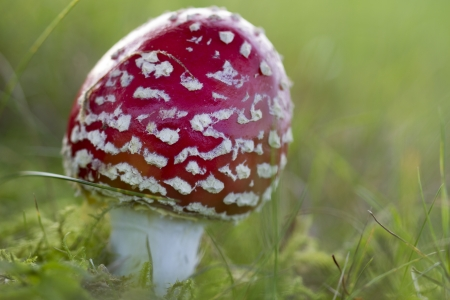 Young fly agaric fruit body outside on a meadow photo