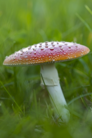 blotchy: Fly agaric fruit body outside on a meadow