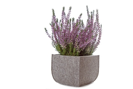 Purple Heather  Calluna vulgaris  flowers on white background photo