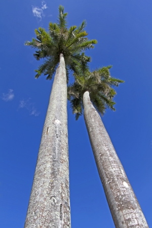 King palm trees on the caribbean island of Cuba photo