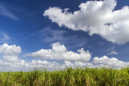 Sugar cane plantation on the island of Cuba photo