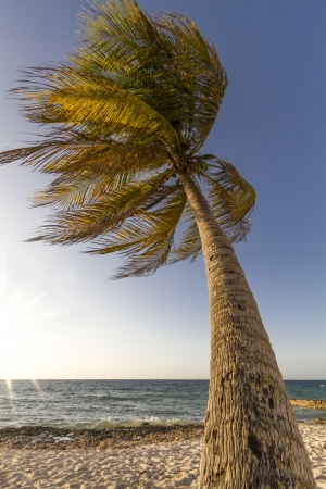 windy day: Palm tree moving in the wind