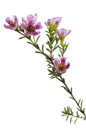 Chamelaucium uncinatum or waxflower photo
