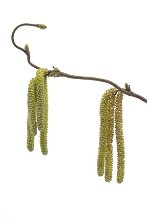 corylus: Catkins of a Corylus avellana plant in spring Stock Photo