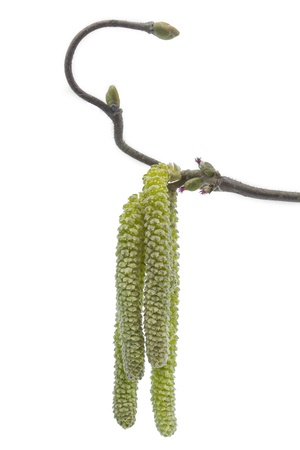 Catkins of a Corylus avellana plant in spring photo