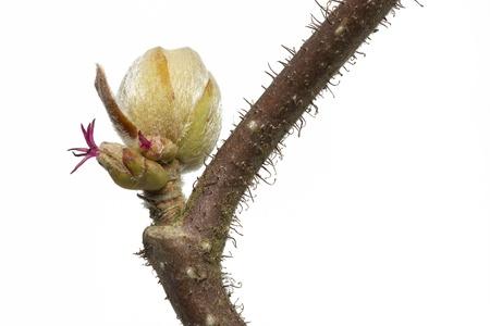 corylus: Spring branch of a Corylus avellana plant Stock Photo