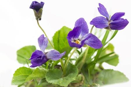 Purple violet  Viola Odorata , closeup