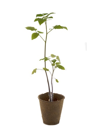 Tomato plant in a pot on white background photo