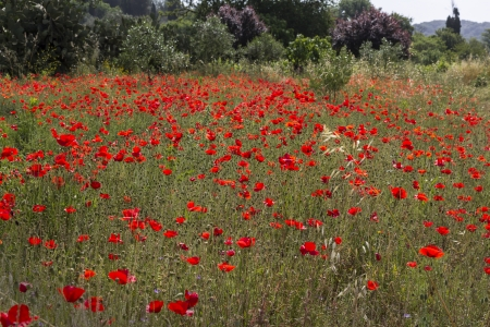 Poppy field, seen on Corfu, Greece photo