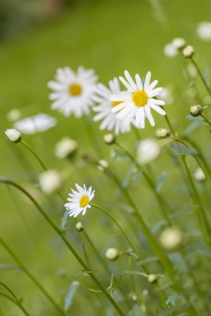 oxeye: Meadow with marguerite  Leucanthemum vulgare  in spring Stock Photo