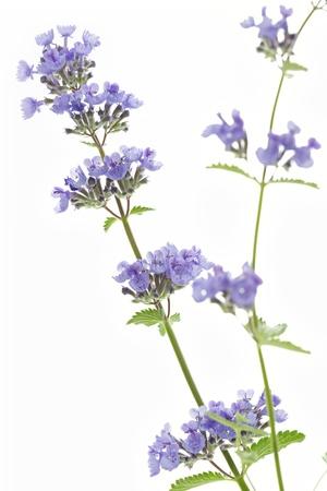 Catnip flowers  Nepeta cataria  on white background
