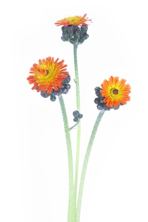 hawkweed: Pilosella aurantiaca or Orange Hawkweed Flower  Hieracium aurantiacum  Stock Photo