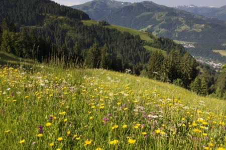 blossoming yellow flower tree: Wild flowers in the German alps, Bavaria Stock Photo