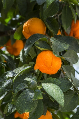 Aurantium citrus fruits hanging on a tree Stock Photo