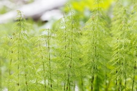 equisetum: Wood horsetail (Equisetum sylvaticum) with shallow DOF Stock Photo