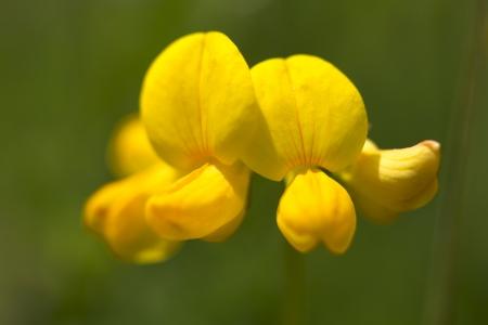 trefoil: Common birds foot trefoil flower or Lotus corniculatus