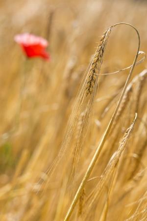 wheatfield: Barley (Hordeum vulgare) outside in a field