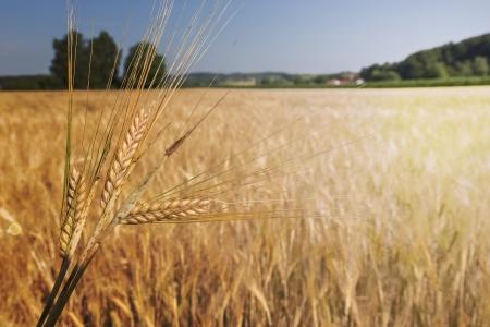 wheatfield: Barley field (Hordeum vulgare) in warm light