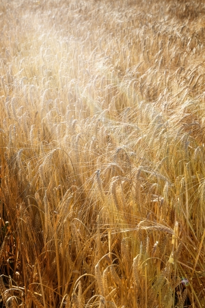 vulgare: Barley field (Hordeum vulgare) with sun rays Stock Photo