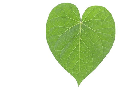Single heart shaped green leaf on white background Stock Photo