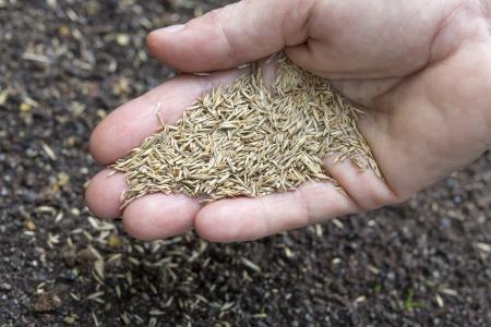 Hand holding grass seeds