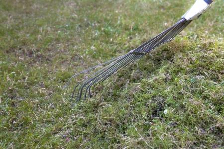 Raking moss on a lawn