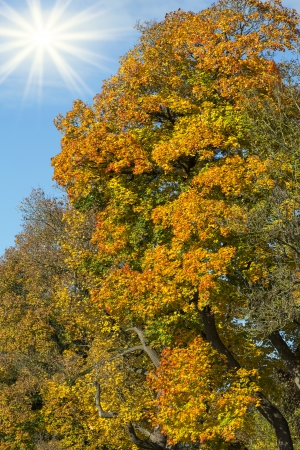 Tree with autumn leaves and sun photo