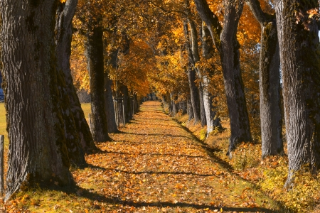 Oak alley with autumn leaves in Bavaria, Germany photo