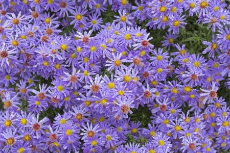 Aster flowers with small drops of water photo