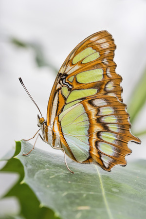 Bamboo Page or Dido Longwing butterfly Stock Photo - 26378174