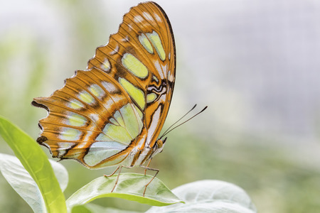 Bamboo Page or Dido Longwing butterfly Stock Photo - 26378176