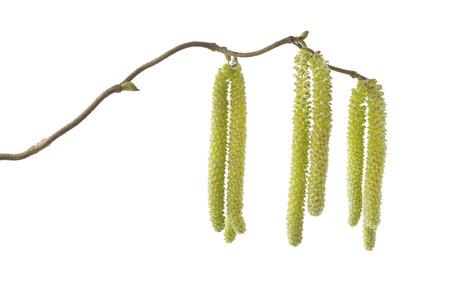 """albero nocciola: Amenti sul nocciolo """"Corylus avellana Contorta"""" Archivio Fotografico"""
