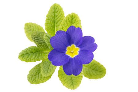 primula: Single primrose (primula) flower Stock Photo