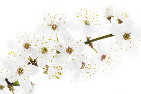 Blackthorn (prunus spinosa ) blossoms photo