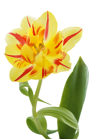 tulipa: Yellow tulip (tulipa) with red stripes Stock Photo