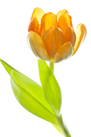 tulipa: Orange and yellow tulip (tulipa)