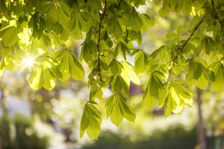 aesculus hippocastanum: Flowering chestnut tree (Aesculus hippocastanum)