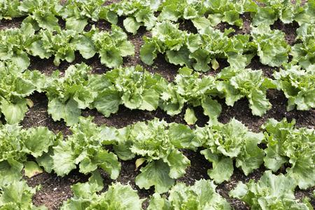 lactuca sativa: Young salad plants  lactuca sativa