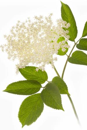 Elderflower on white background