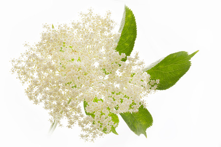 Elderflower on white background