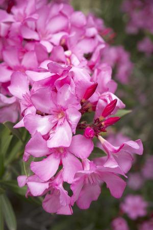 Oleander (Nerium oleander) close-up Stockfoto
