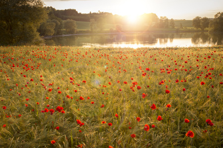 Blooming poppy field in warm evening light photo
