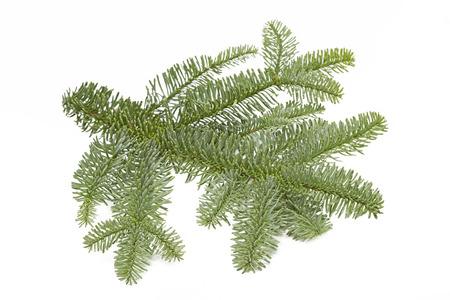fir twig: Fir twig on white background