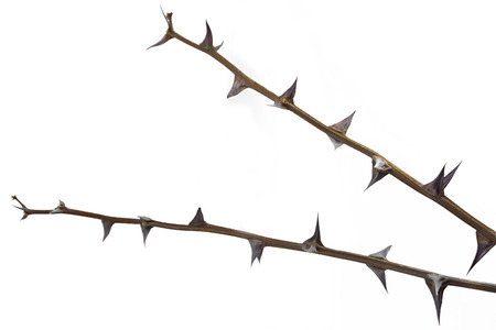 Twig with thorns isolated on white background