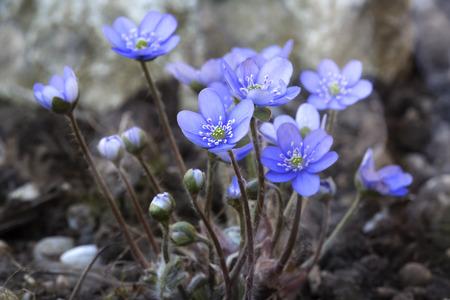 nobilis: Hepatica nobilis flower closeup shot