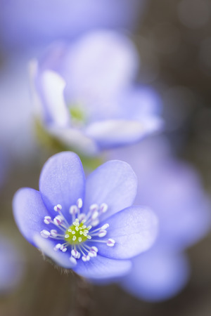 hepatica: Hepatica nobilis flower closeup shot
