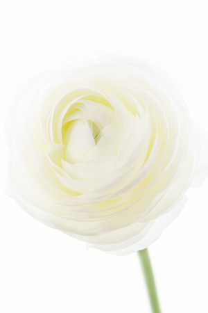 Ranunculus asiaticus on white background photo
