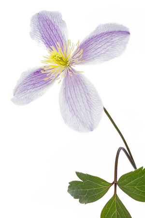 clematis flower: Clematis flower closeup on white background