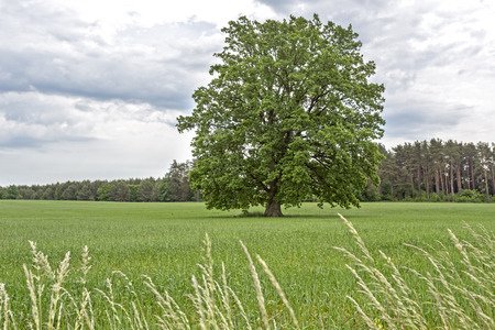 east germany: Rural landscape with a large tree in East Germany